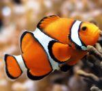 Рыбка клоун купить